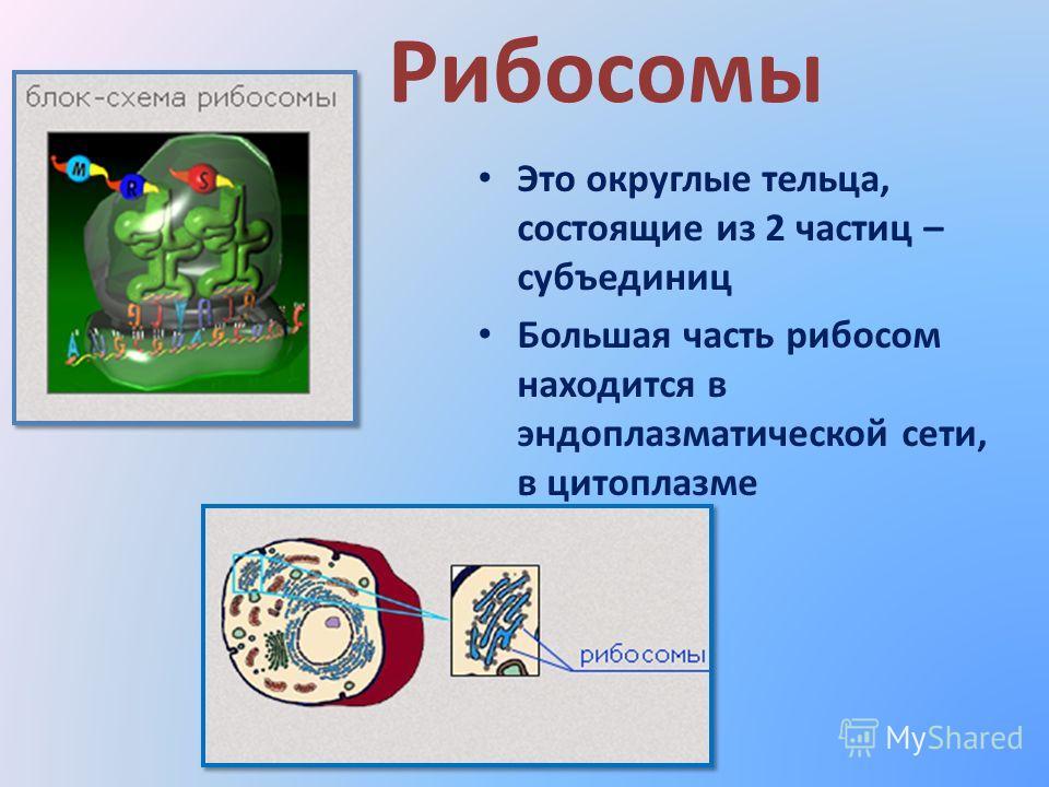 Рибосомы Это округлые тельца, состоящие из 2 частиц – субъединиц Большая часть рибосом находится в эндоплазматической сети, в цитоплазме