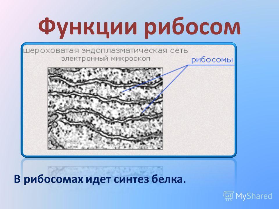Функции рибосом В рибосомах идет синтез белка.
