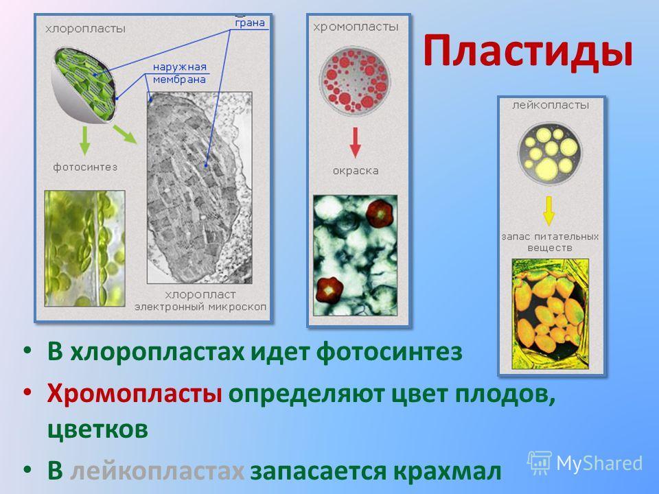 Пластиды В хлоропластах идет фотосинтез Хромопласты определяют цвет плодов, цветков В лейкопластах запасается крахмал