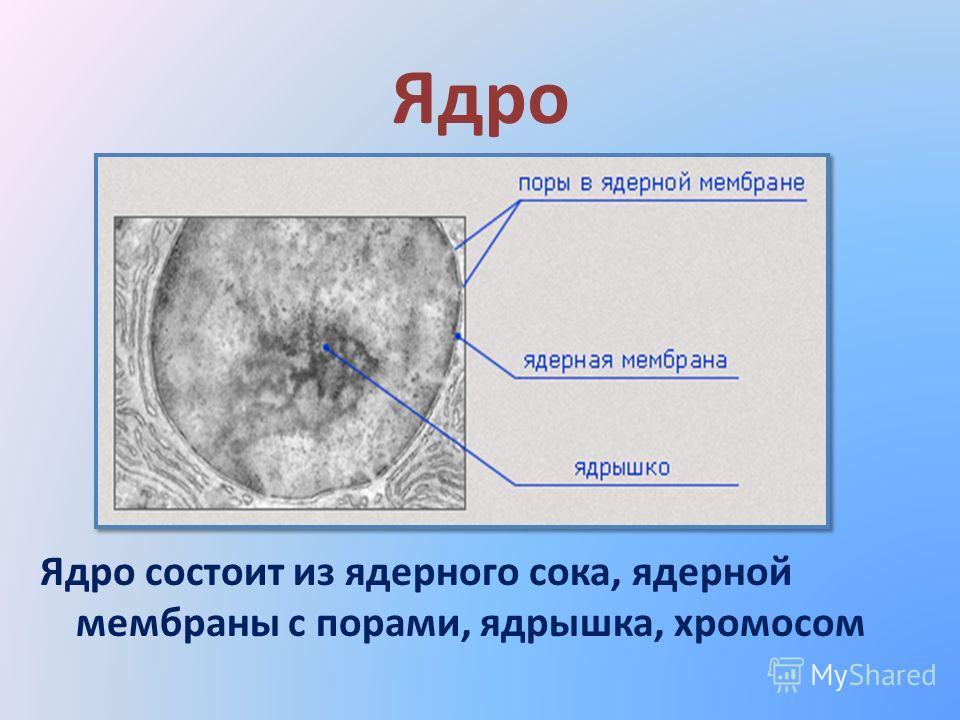 Ядро Ядро состоит из ядерного сока, ядерной мембраны с порами, ядрышка, хромосом