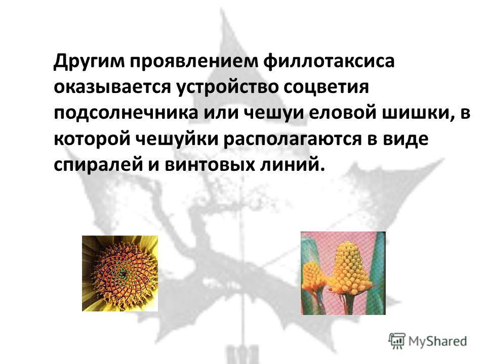 Другим проявлением филлотаксиса оказывается устройство соцветия подсолнечника или чешуи еловой шишки, в которой чешуйки располагаются в виде спиралей и винтовых линий.