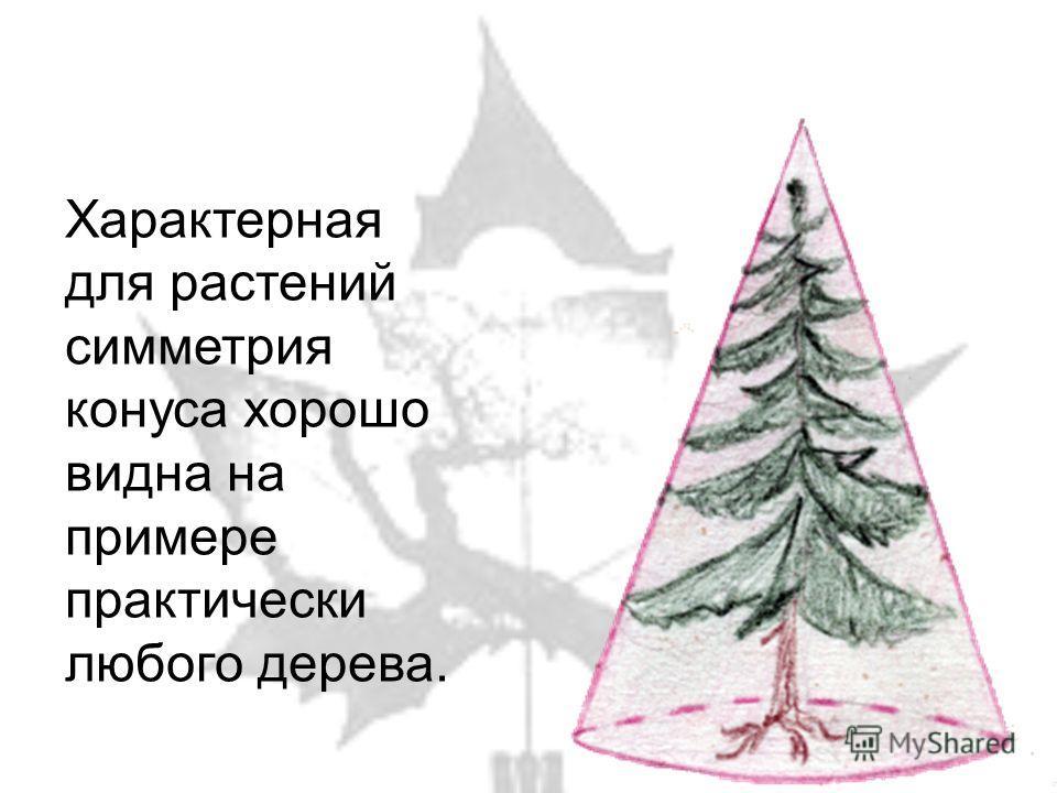 Характерная для растений симметрия конуса хорошо видна на примере практически любого дерева.
