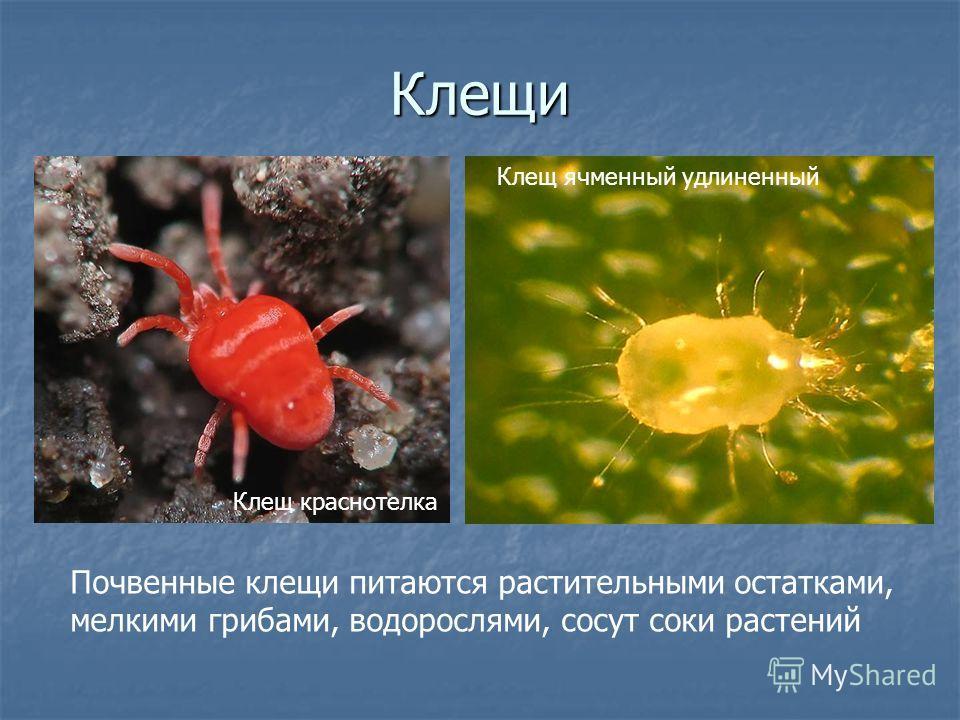 Клещи Почвенные клещи питаются растительными остатками, мелкими грибами, водорослями, сосут соки растений Клещ ячменный удлиненный Клещ краснотелка