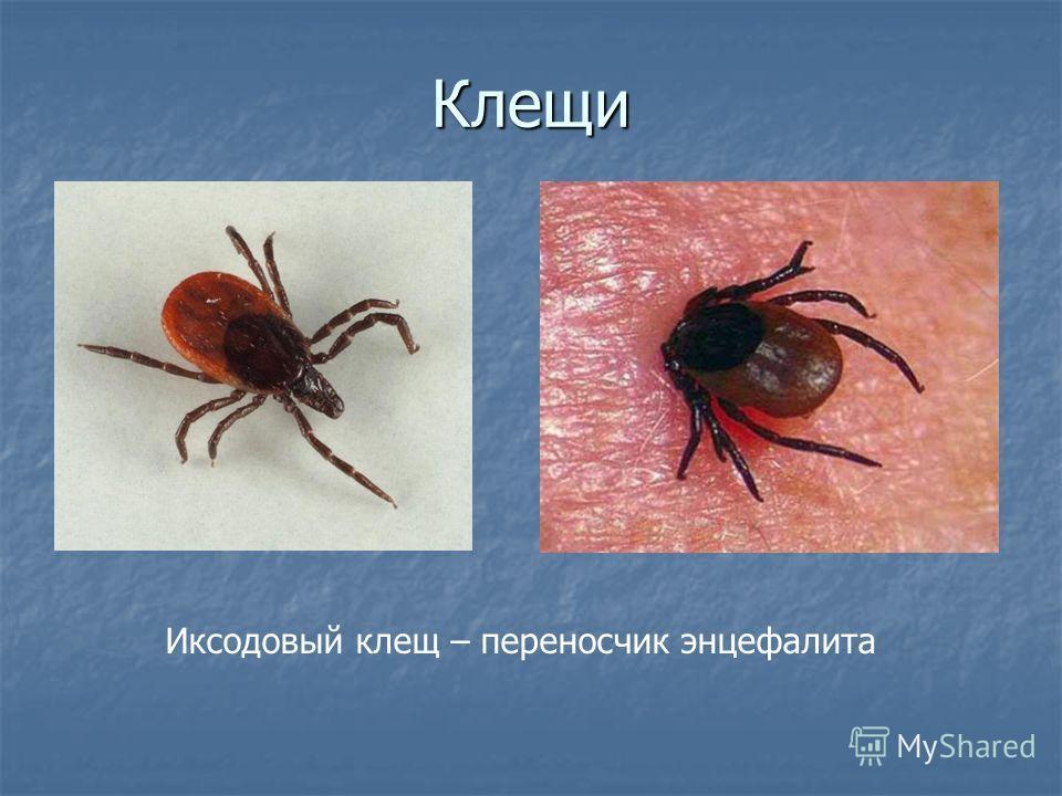Клещи Иксодовый клещ – переносчик энцефалита