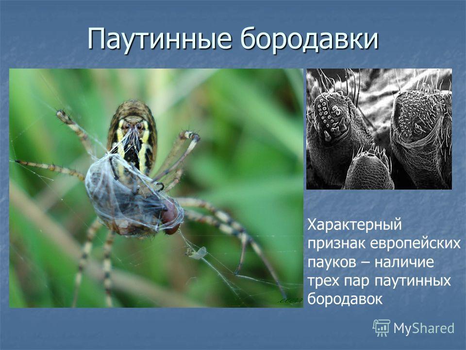 Паутинные бородавки Характерный признак европейских пауков – наличие трех пар паутинных бородавок