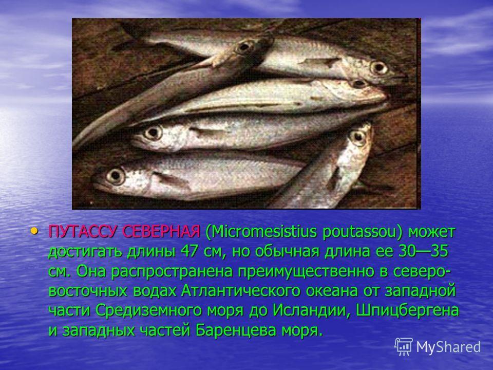 ПУТАССУ СЕВЕРНАЯ (Micromesistius poutassou) может достигать длины 47 см, но обычная длина ее 3035 см. Она распространена преимущественно в северо- восточных водах Атлантического океана от западной части Средиземного моря до Исландии, Шпицбергена и за