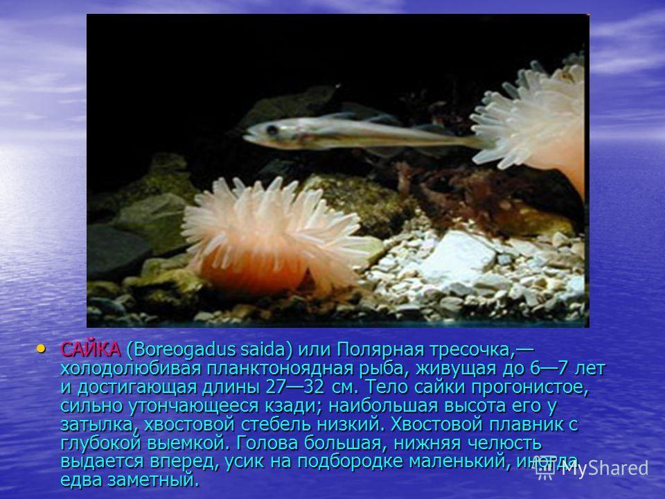 САЙКА (Boreogadus saida) или Полярная тресочка, холодолюбивая планктоноядная рыба, живущая до 67 лет и достигающая длины 2732 см. Тело сайки прогонистое, сильно утончающееся кзади; наибольшая высота его у затылка, хвостовой стебель низкий. Хвостовой