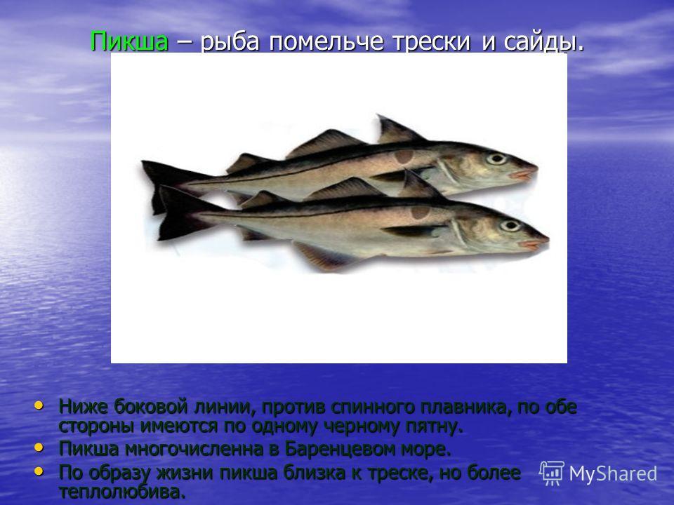 Пикша – рыба помельче трески и сайды. Ниже боковой линии, против спинного плавника, по обе стороны имеются по одному черному пятну. Ниже боковой линии, против спинного плавника, по обе стороны имеются по одному черному пятну. Пикша многочисленна в Ба