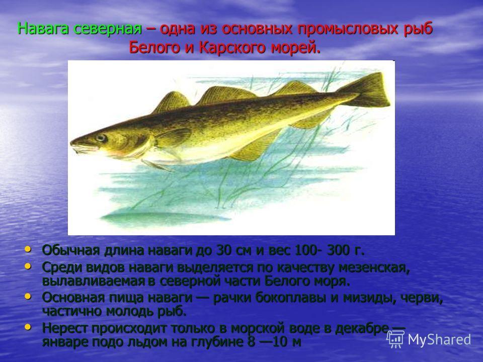 Навага северная – одна из основных промысловых рыб Белого и Карского морей. Обычная длина наваги до 30 см и вес 100- 300 г. Обычная длина наваги до 30 см и вес 100- 300 г. Среди видов наваги выделяется по качеству мезенская, вылавливаемая в северной