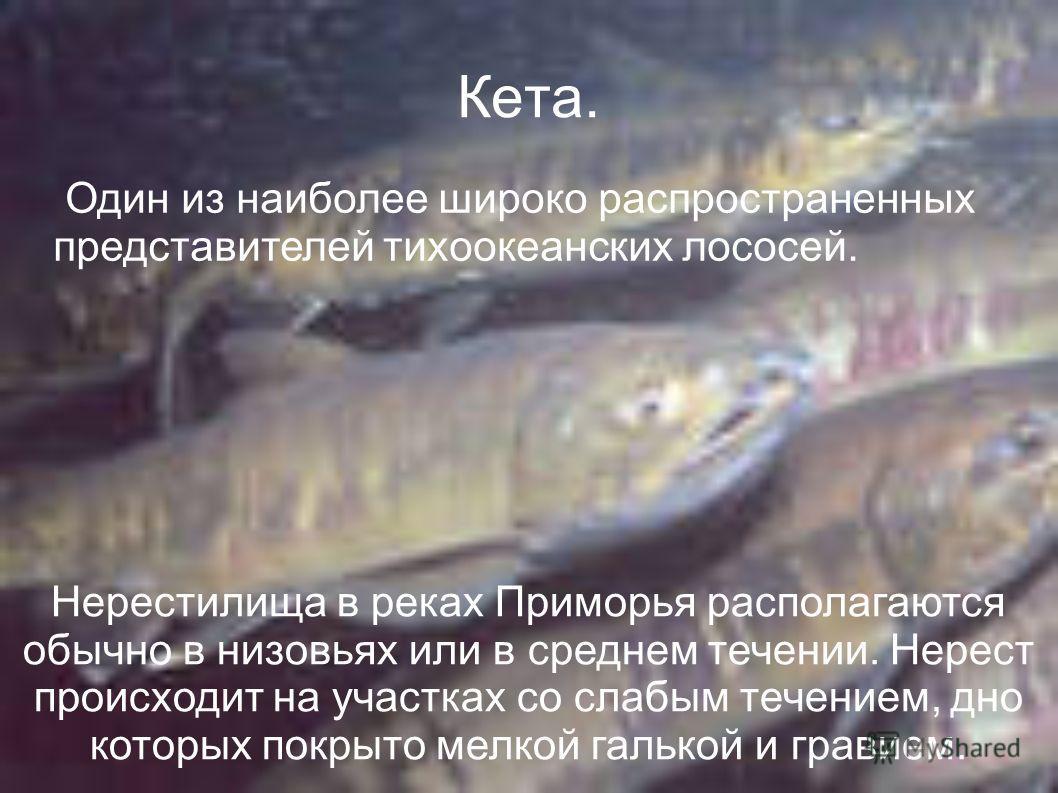 Кета. Один из наиболее широко распространенных представителей тихоокеанских лососей. Нерестилища в реках Приморья располагаются обычно в низовьях или в среднем течении. Нерест происходит на участках со слабым течением, дно которых покрыто мелкой галь