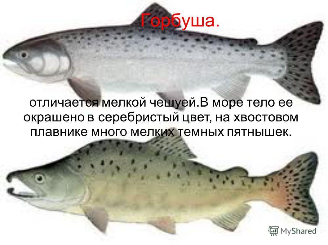Горбуша. отличается мелкой чешуей.В море тело ее окрашено в серебристый цвет, на хвостовом плавнике много мелких темных пятнышек.