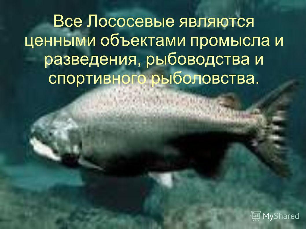 Все Лососевые являются ценными объектами промысла и разведения, рыбоводства и спортивного рыболовства.
