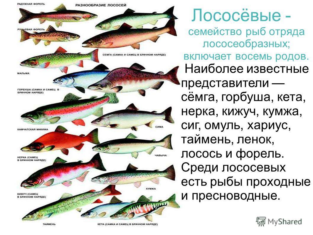 Наиболее известные представители сёмга, горбуша, кета, нерка, кижуч, кумжа, сиг, омуль, хариус, таймень, ленок, лосось и форель. Среди лососевых есть рыбы проходные и пресноводные. Лососёвые - семейство рыб отряда лососеобразных; включает восемь родо