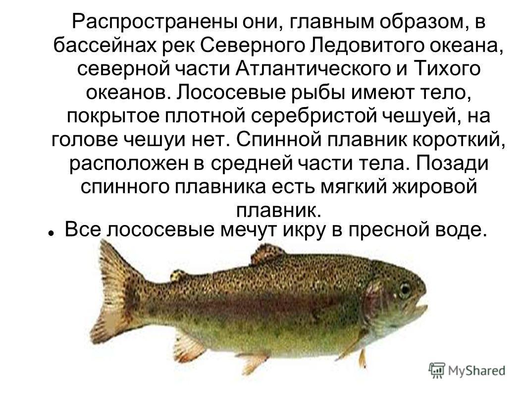 Распространены они, главным образом, в бассейнах рек Северного Ледовитого океана, северной части Атлантического и Тихого океанов. Лососевые рыбы имеют тело, покрытое плотной серебристой чешуей, на голове чешуи нет. Спинной плавник короткий, расположе