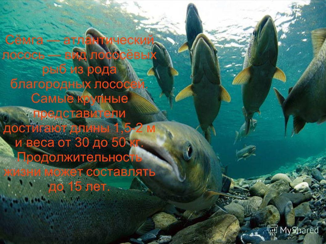 Сёмга атлантический лосось вид лососёвых рыб из рода благородных лососей. Самые крупные представители достигают длины 1,5-2 м и веса от 30 до 50 кг. Продолжительность жизни может составлять до 15 лет.