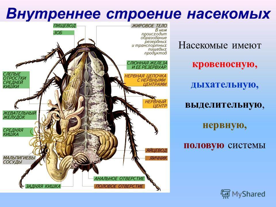 Внутреннее строение насекомых Насекомые имеют кровеносную, дыхательную, выделительную, нервную, половую системы