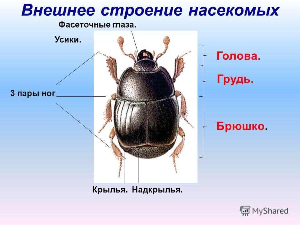 Внешнее строение насекомых Голова. Грудь. Брюшко. Усики. 3 пары ног Надкрылья.Крылья. Фасеточные глаза.