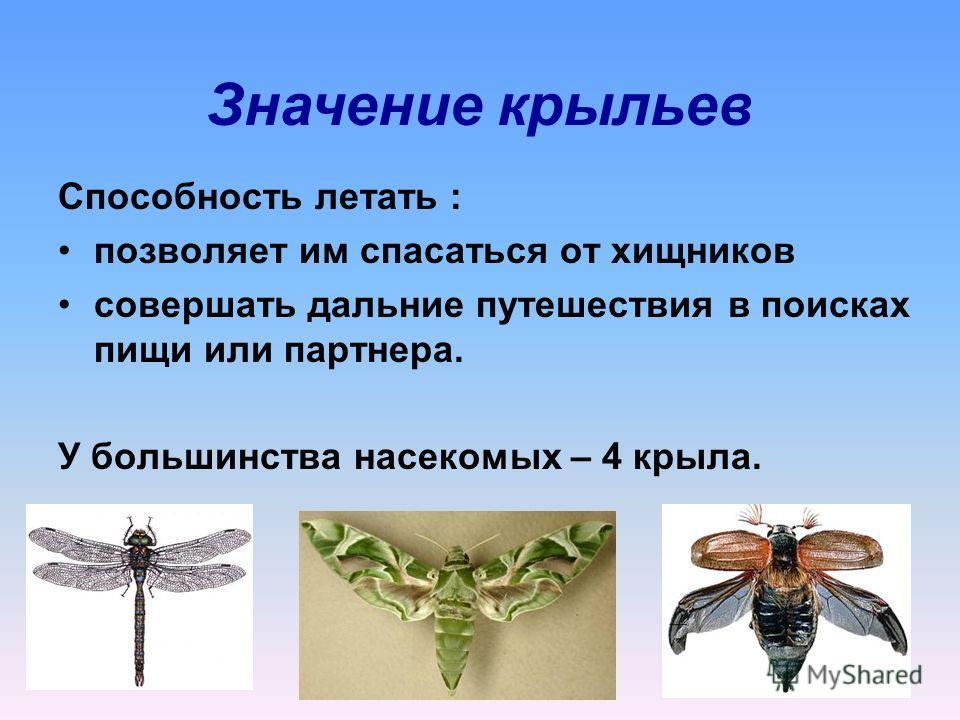 Способность летать : позволяет им спасаться от хищников совершать дальние путешествия в поисках пищи или партнера. У большинства насекомых – 4 крыла. Значение крыльев