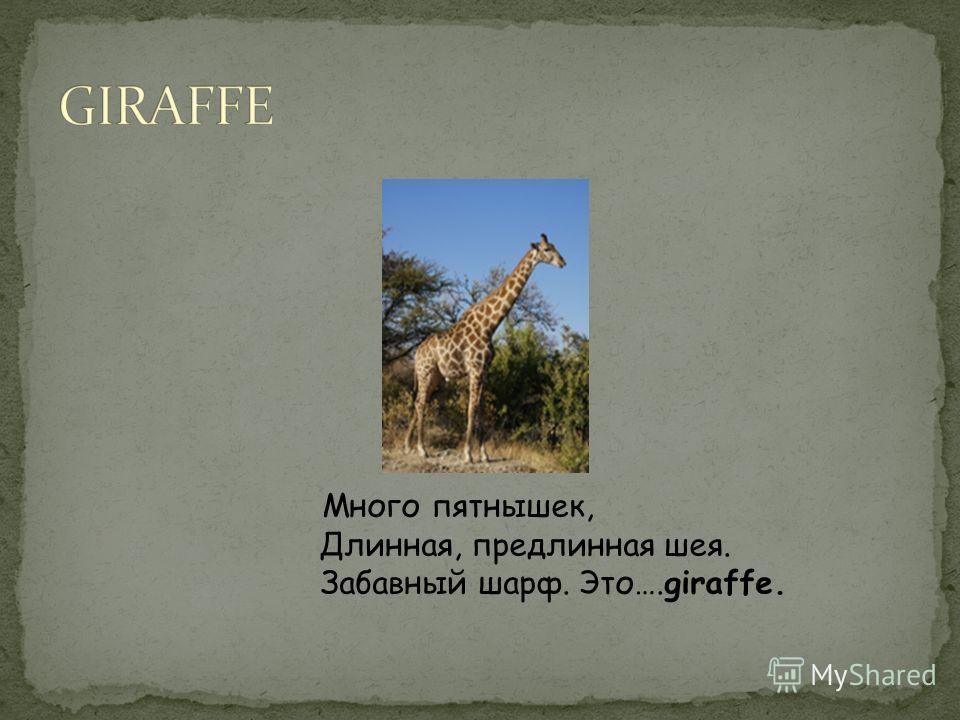 Много пятнышек, Длинная, предлинная шея. Забавный шарф. Это….giraffe.