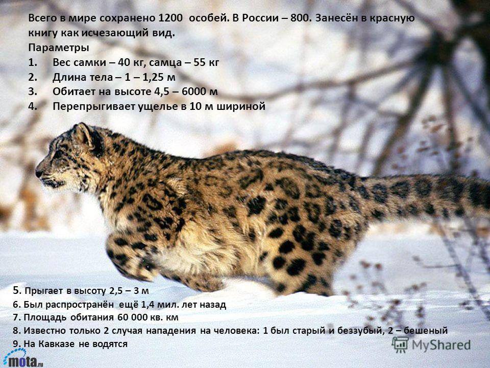 Всего в мире сохранено 1200 особей. В России – 800. Занесён в красную книгу как исчезающий вид. Параметры 1.Вес самки – 40 кг, самца – 55 кг 2.Длина тела – 1 – 1,25 м 3.Обитает на высоте 4,5 – 6000 м 4.Перепрыгивает ущелье в 10 м шириной 5. Прыгает в