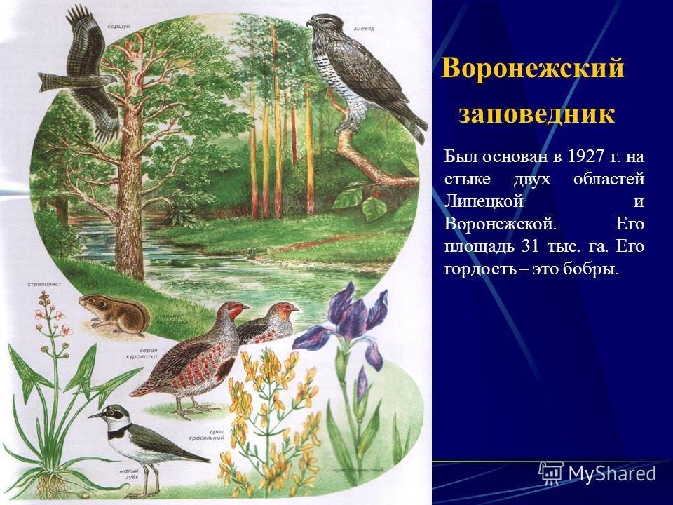 Воронежский заповедник Был основан в 1927 г. на стыке двух областей Липецкой и Воронежской. Его площадь 31 тыс. га. Его гордость – это бобры.