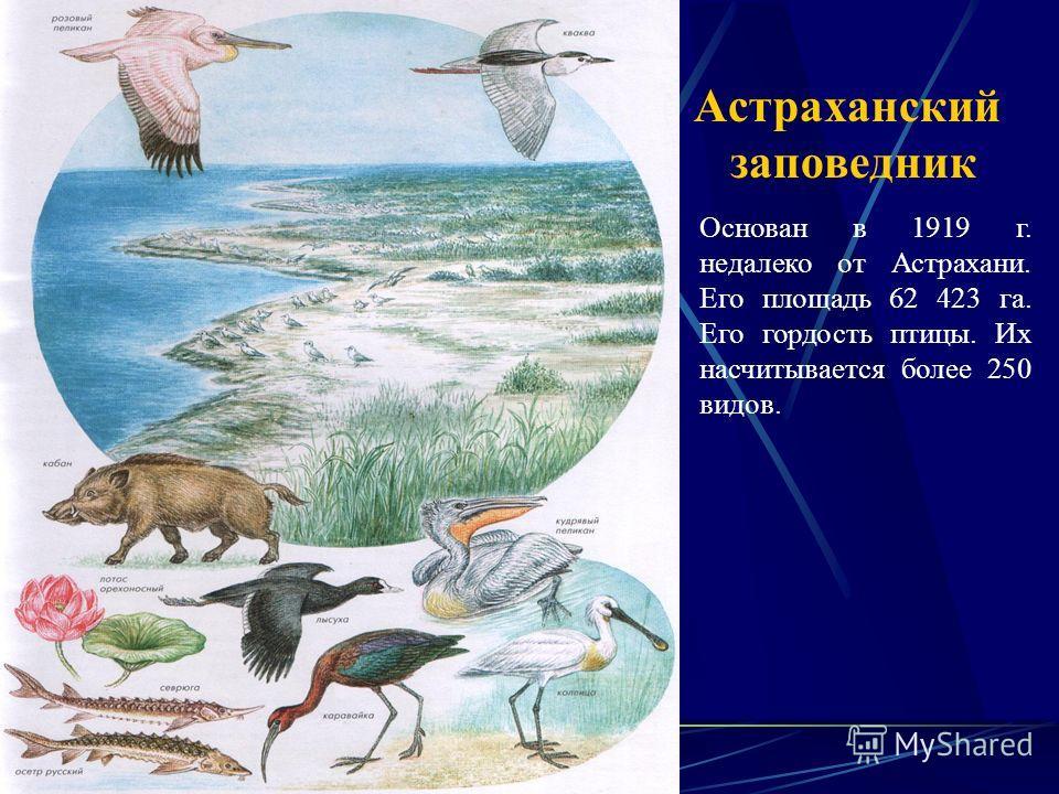 Астраханский заповедник Основан в 1919 г. недалеко от Астрахани. Его площадь 62 423 га. Его гордость птицы. Их насчитывается более 250 видов.