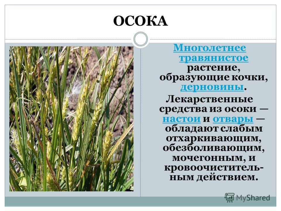 ОСОКА Многолетнее травянистое Многолетнее травянистое растение, образующие кочки, дерновины. дерновины Лекарственные средства из осоки настои и отвары обладают слабым отхаркивающим, обезболивающим, мочегонным, и кровоочиститель- ным действием. настои