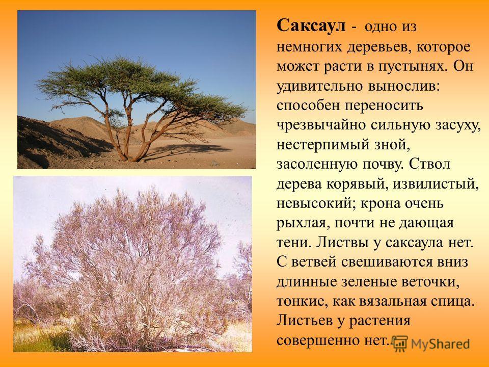 Саксаул - одно из немногих деревьев, которое может расти в пустынях. Он удивительно вынослив: способен переносить чрезвычайно сильную засуху, нестерпимый зной, засоленную почву. Ствол дерева корявый, извилистый, невысокий; крона очень рыхлая, почти н