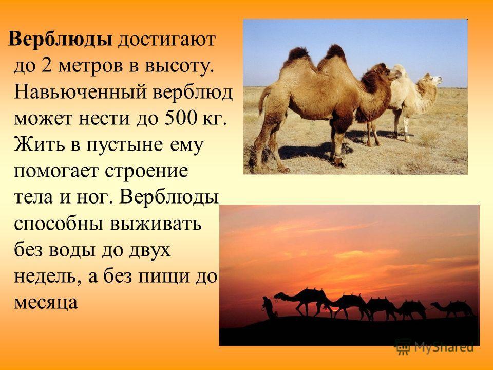 Верблюды достигают до 2 метров в высоту. Навьюченный верблюд может нести до 500 кг. Жить в пустыне ему помогает строение тела и ног. Верблюды способны выживать без воды до двух недель, а без пищи до месяца