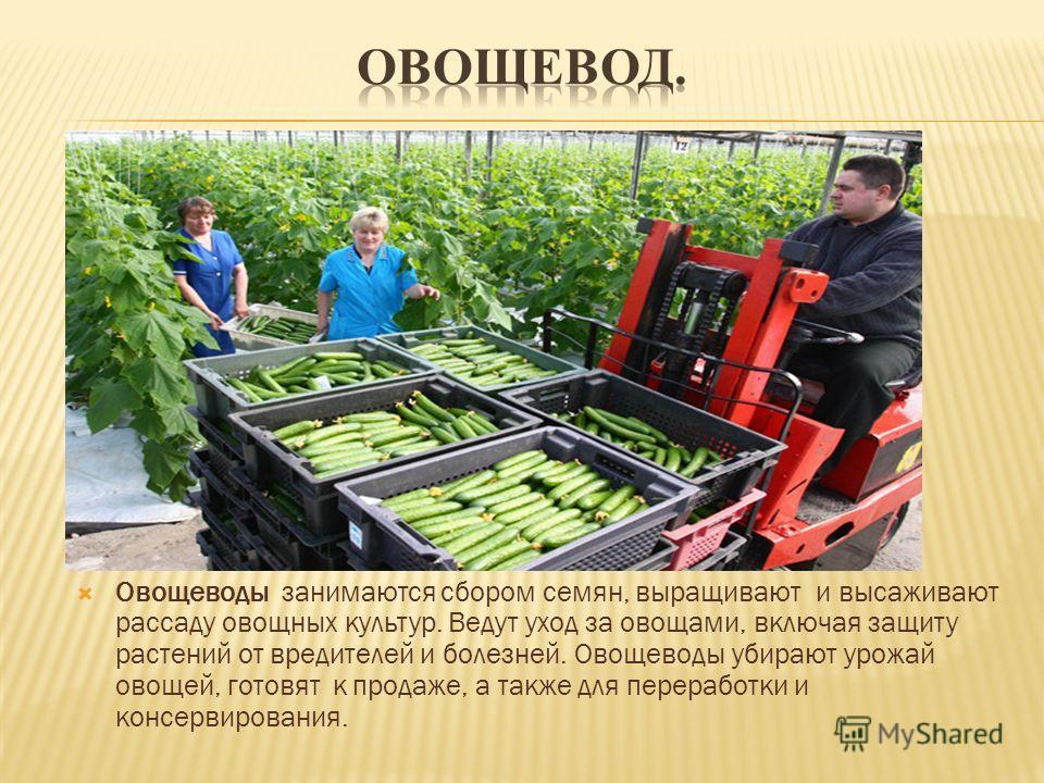 Овощеводы занимаются сбором семян, выращивают и высаживают рассаду овощных культур. Ведут уход за овощами, включая защиту растений от вредителей и болезней. Овощеводы убирают урожай овощей, готовят к продаже, а также для переработки и консервирования