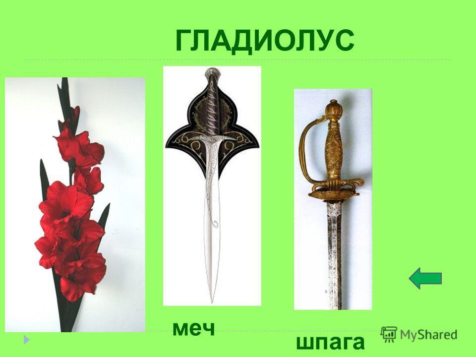 ГЛАДИОЛУС меч шпага