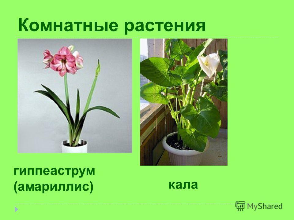Комнатные растения гиппеаструм (амариллис) кала