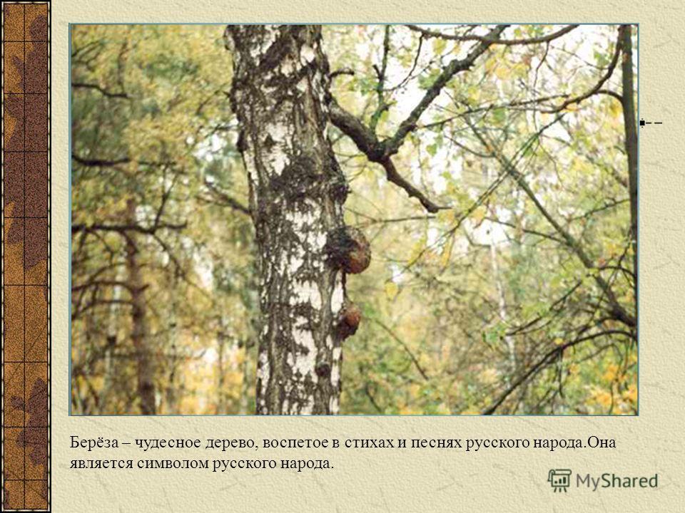 Берёза – чудесное дерево, воспетое в стихах и песнях русского народа.Она является символом русского народа.