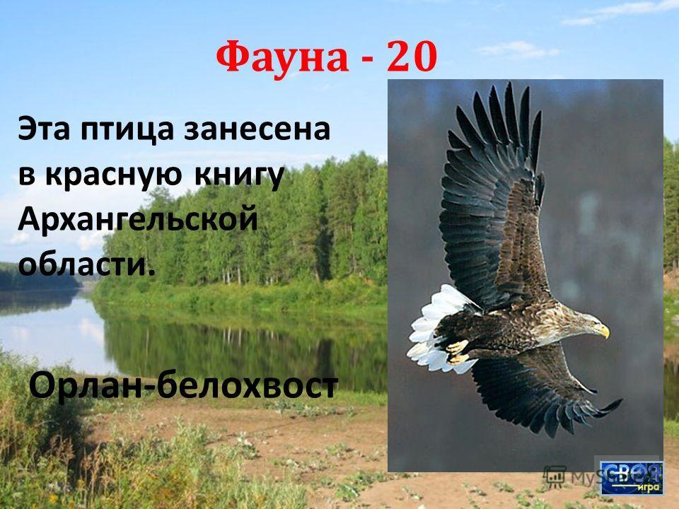 Фауна - 20 Эта птица занесена в красную книгу Архангельской области. Орлан - белохвост