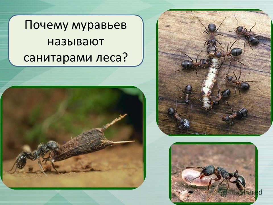 Почему муравьев называют санитарами леса?