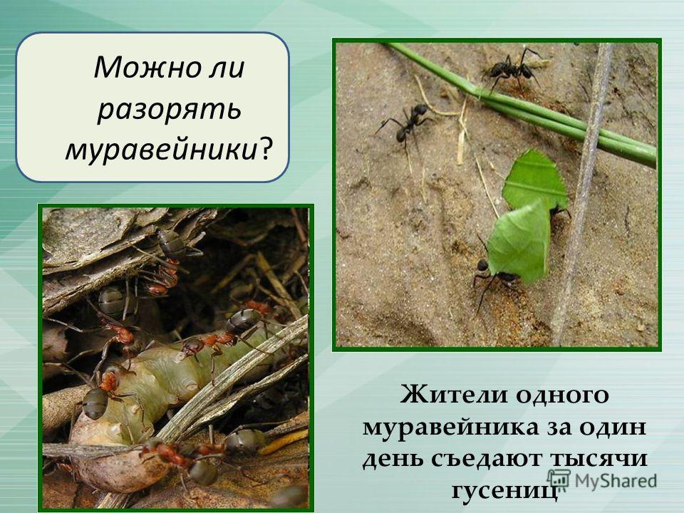 Можно ли разорять муравейники? Жители одного муравейника за один день съедают тысячи гусениц