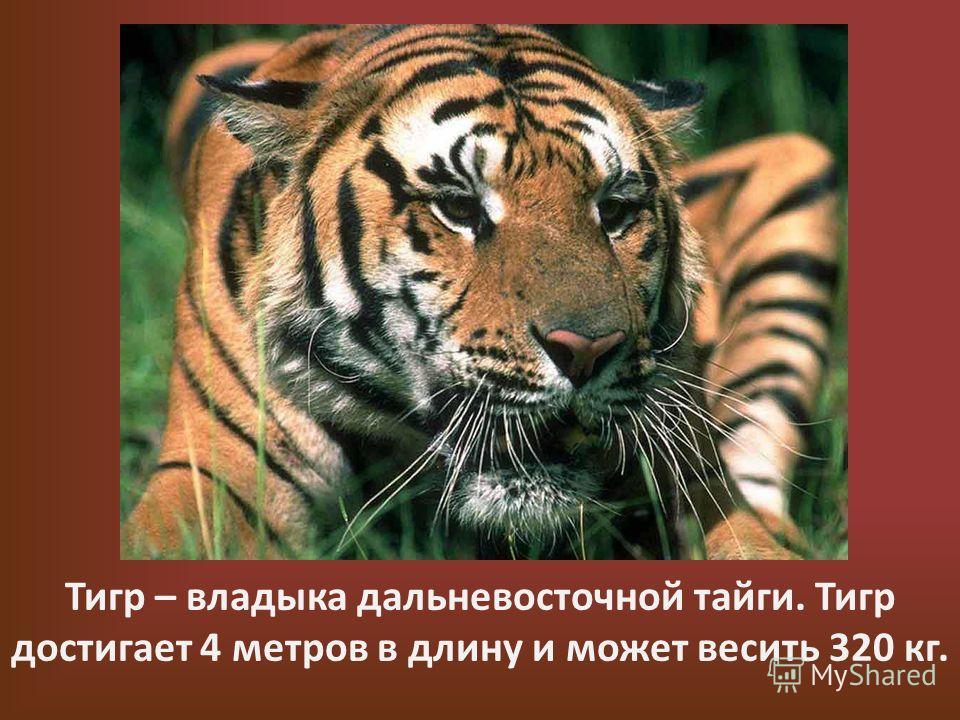 Тигр – владыка дальневосточной тайги. Тигр достигает 4 метров в длину и может весить 320 кг.