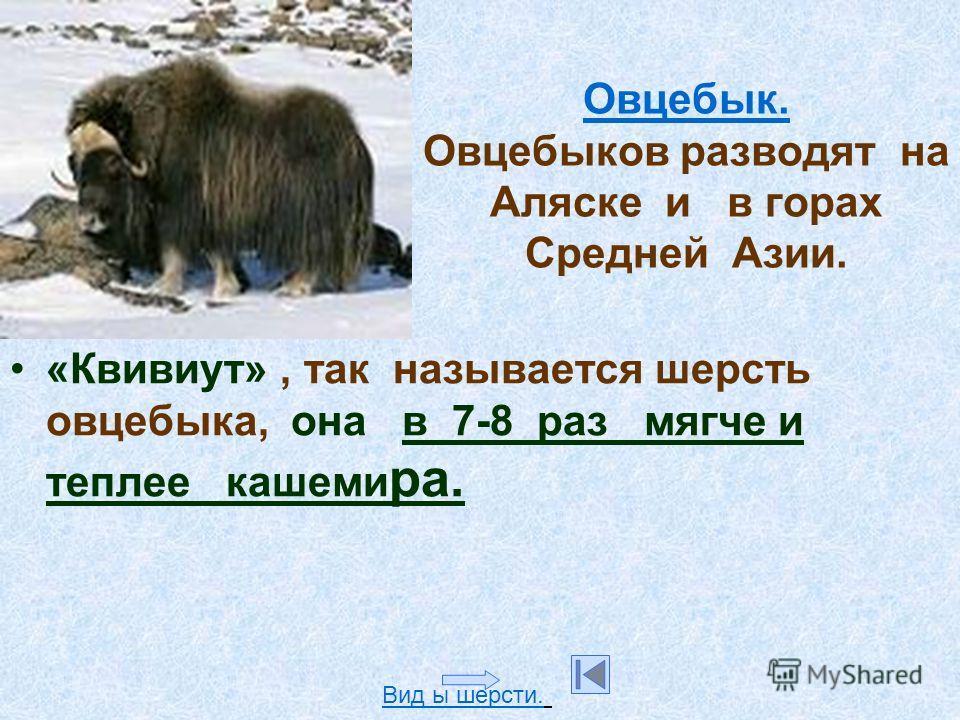 Овцебык. Овцебык. Овцебыков разводят на Аляске и в горах Средней Азии. «Квивиут», так называется шерсть овцебыка, она в 7-8 раз мягче и теплее кашеми ра. Вид ы шерсти.