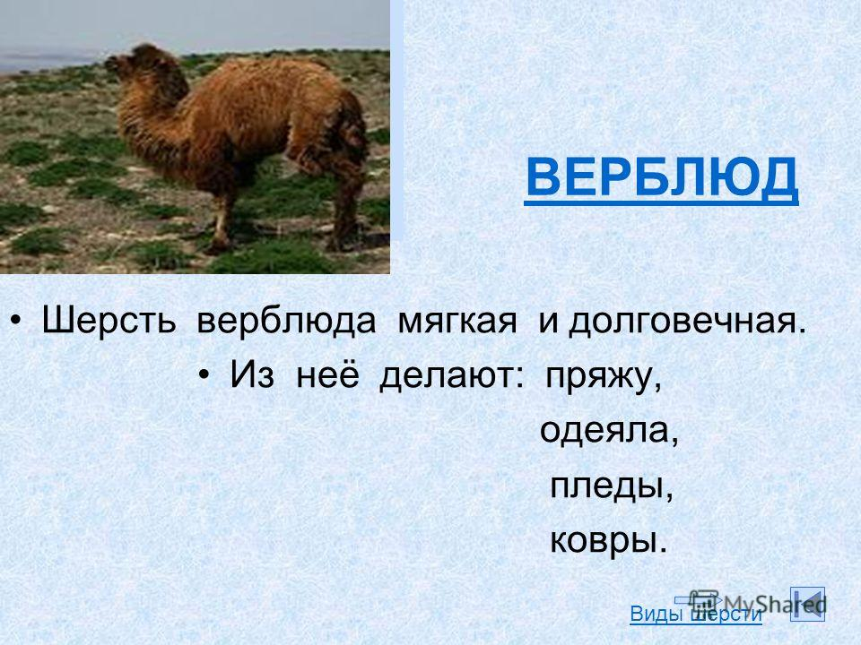 ВЕРБЛЮД Шерсть верблюда мягкая и долговечная. Из неё делают: пряжу, одеяла, пледы, ковры. Виды шерсти