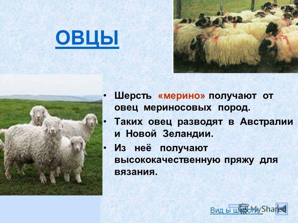 Шерсть «мерино» получают от овец мериносовых пород. Таких овец разводят в Австралии и Новой Зеландии. Из неё получают высококачественную пряжу для вязания. ОВЦЫ Вид ы шерсти.