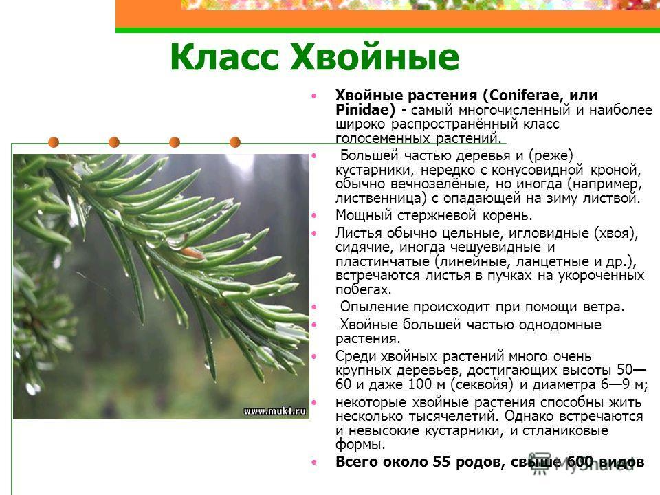 Класс Хвойные Хвойные растения (Coniferae, или Pinidae) - самый многочисленный и наиболее широко распространённый класс голосеменных растений. Большей частью деревья и (реже) кустарники, нередко с конусовидной кроной, обычно вечнозелёные, но иногда (