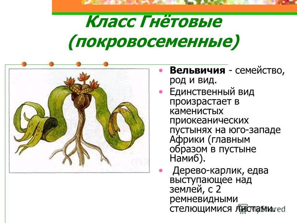 Класс Гнётовые (покровосеменные) Вельвичия - семейство, род и вид. Единственный вид произрастает в каменистых приокеанических пустынях на юго-западе Африки (главным образом в пустыне Намиб). Дерево-карлик, едва выступающее над землей, с 2 ремневидным