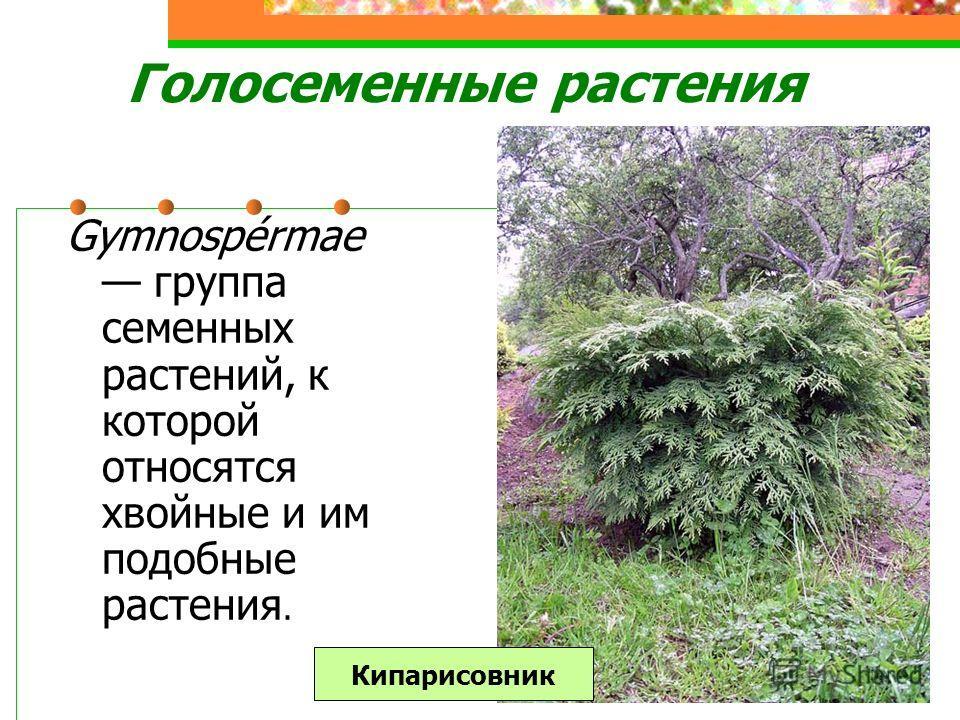 Голосеменные растения Gymnospérmae группа семенных растений, к которой относятся хвойные и им подобные растения. Кипарисовник