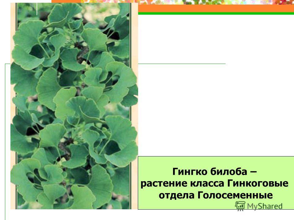 Гингко билоба – растение класса Гинкоговые отдела Голосеменные