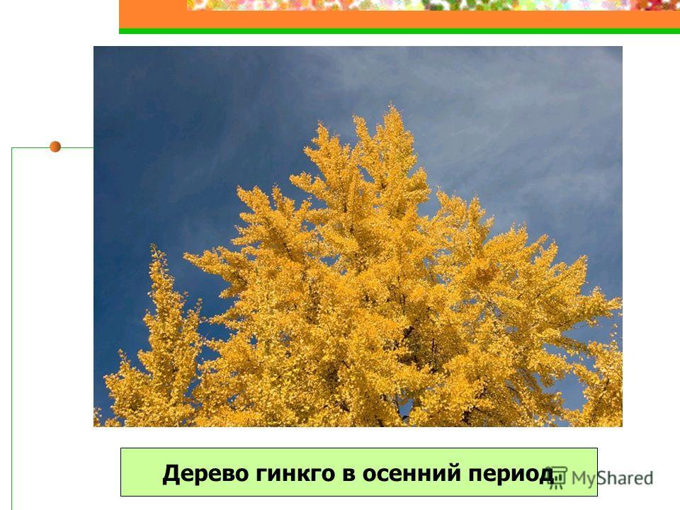 Дерево гинкго в осенний период