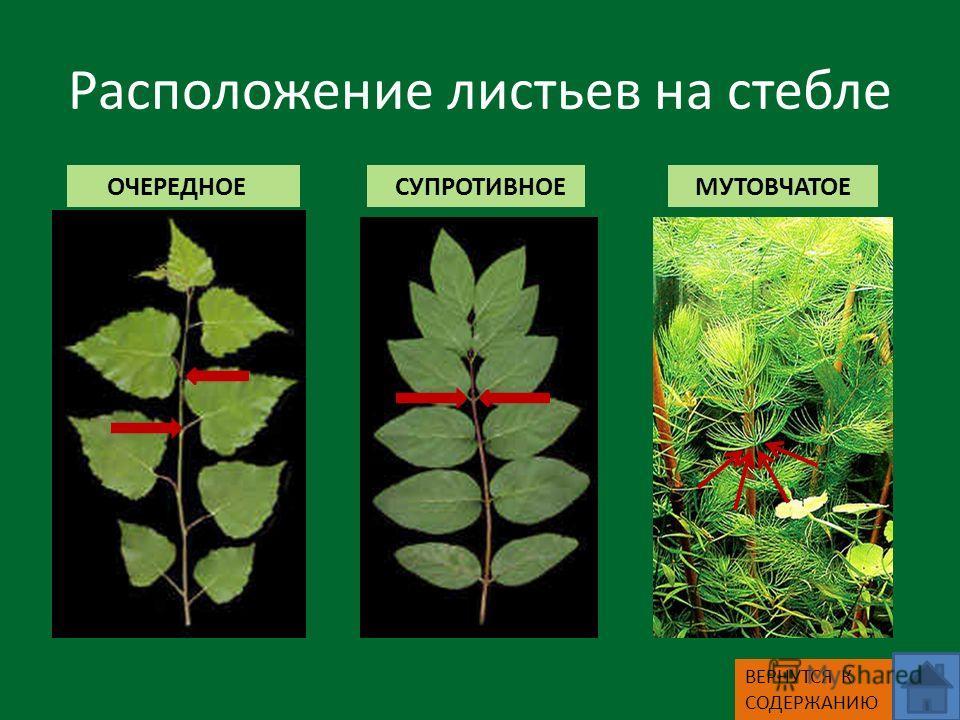 Расположение листьев на стебле ОЧЕРЕДНОЕ СУПРОТИВНОЕ МУТОВЧАТОЕ ВЕРНУТСЯ К СОДЕРЖАНИЮ