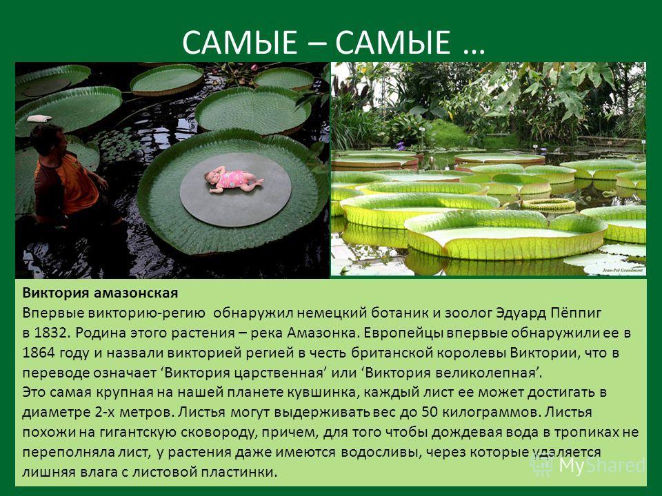 САМЫЕ – САМЫЕ … Виктория амазонская Впервые викторию-регию обнаружил немецкий ботаник и зоолог Эдуард Пёппиг в 1832. Родина этого растения – река Амазонка. Европейцы впервые обнаружили ее в 1864 году и назвали викторией регией в честь британской коро