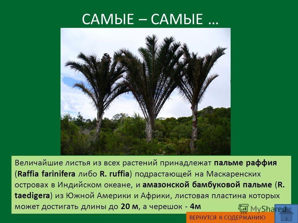 САМЫЕ – САМЫЕ … Величайшие листья из всех растений принадлежат пальме раффия (Raffia farinifera либо R. ruffia) подрастающей на Маскаренских островах в Индийском океане, и амазонской бамбуковой пальме (R. taedigera) из Южной Америки и Африки, листова