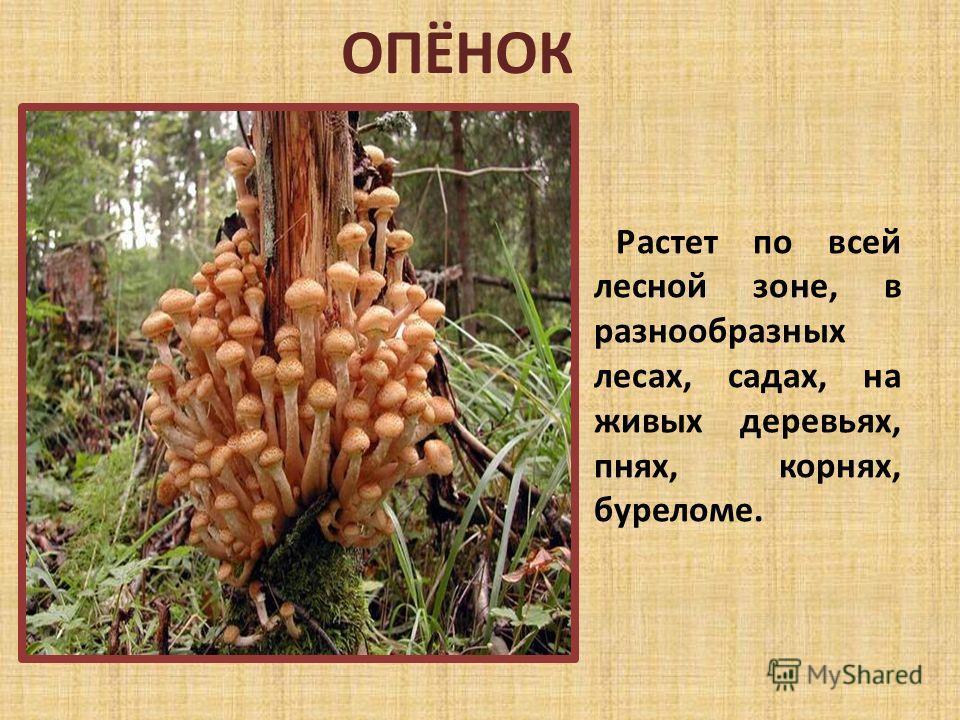 ОПЁНОК Растет по всей лесной зоне, в разнообразных лесах, садах, на живых деревьях, пнях, корнях, буреломе.