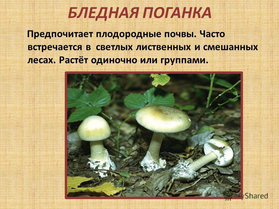 БЛЕДНАЯ ПОГАНКА Предпочитает плодородные почвы. Часто встречается в светлых лиственных и смешанных лесах. Растёт одиночно или группами.